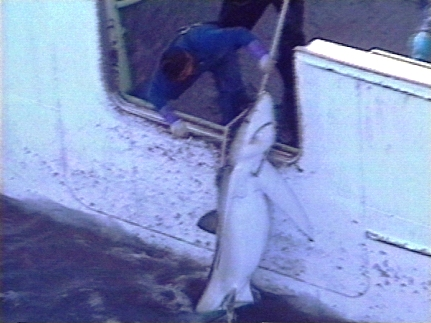 captured shark